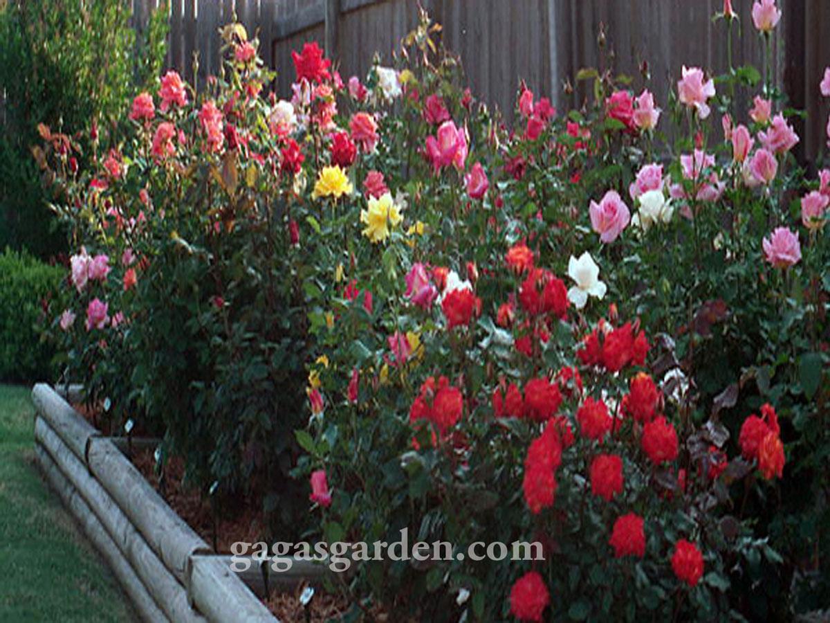 The sensual rose garden experience gaga39s garden for Backyard rose garden