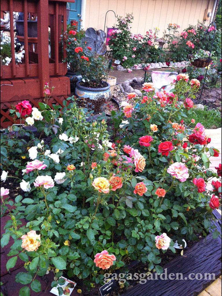 a rose garden in bloom  u2013 gaga u0026 39 s garden