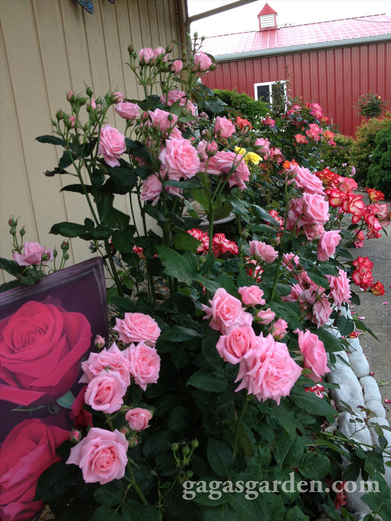 Roses In Garden: The Boys Of Summer Roses
