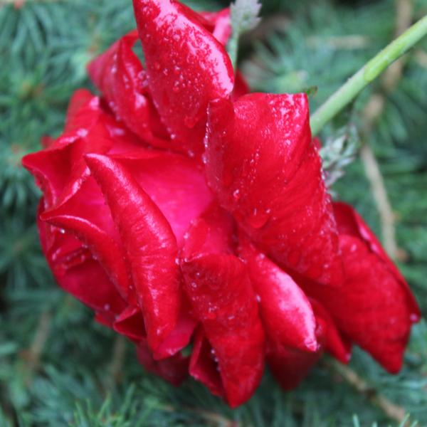 american rose society handbook for selecting roses