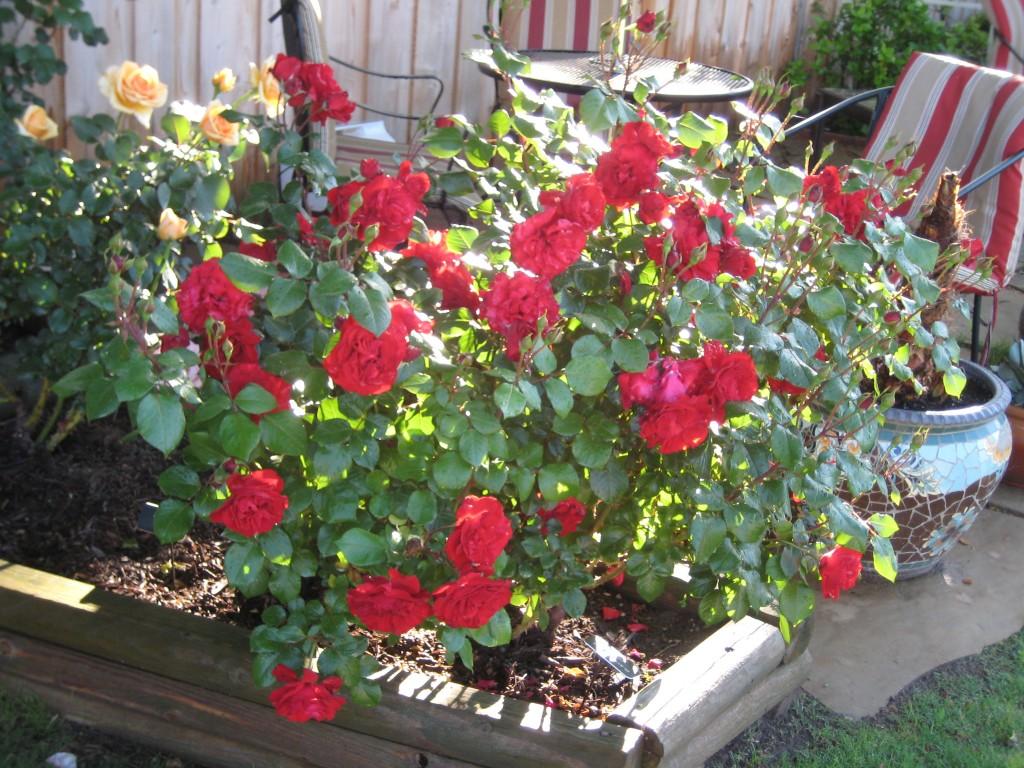 Black Cherry, Floribunda Rose Gagasgarden