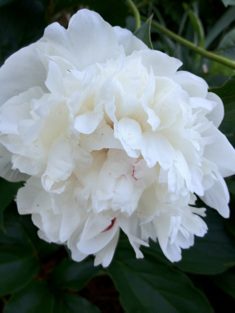 Double White Peony from Gagas Hidden Garden