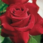 Veterans Honor, Hybrid Tea