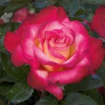 Dick Clark, photo Weeks Roses