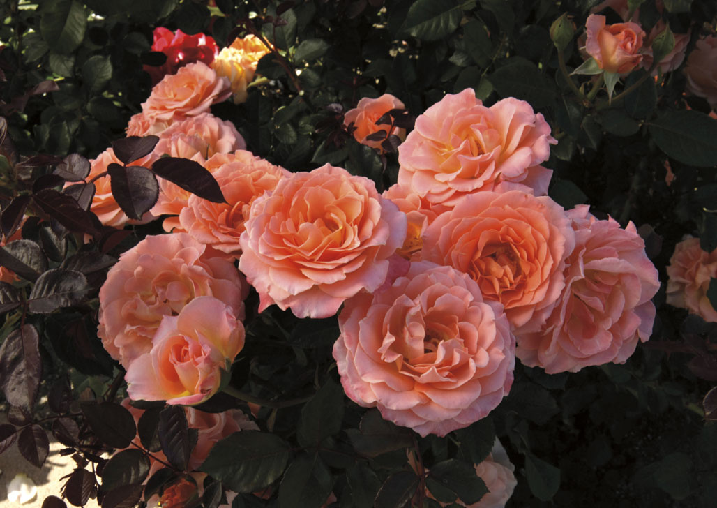 Jump For Joy Floribunda Rose, available 2014 from Weeks Roses