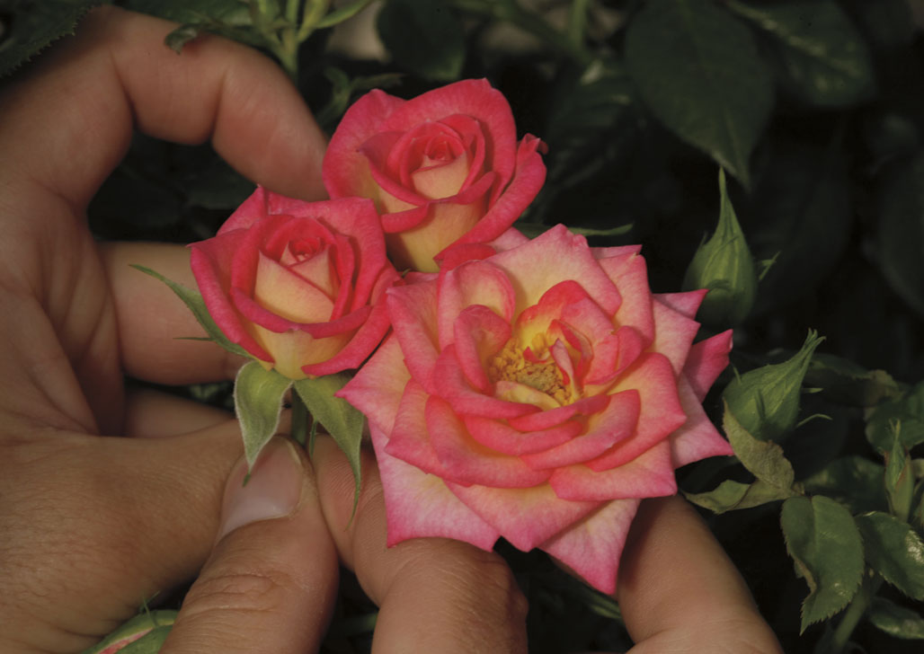 You're The One, Miniature Rose A 2014 New Introduction Awarded the American Rose Society's Award of Excellence