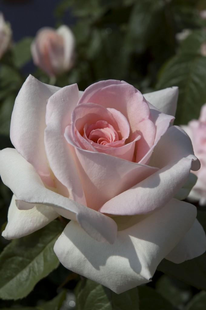'Francis Meilland'   Best Hybrid Tea   Meilland   Star Roses and Plants