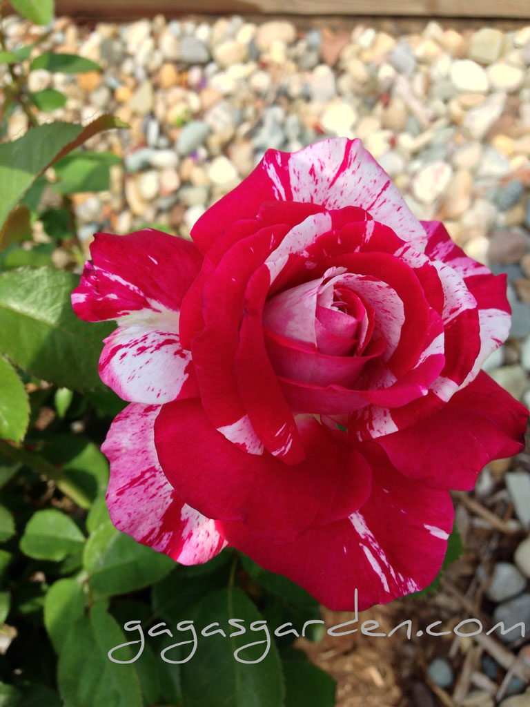'Neil Diamond'