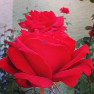 Red Roses at Baptist Church Fredericksburg, VA
