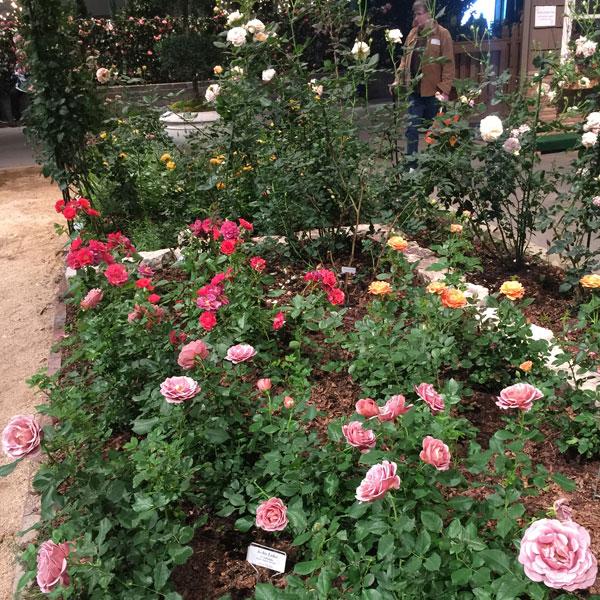 Weeks Roses in Bloom