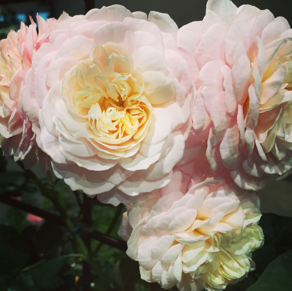 'Shropshire Lad' by David Austin Roses, Nathan Beckner's Rose at The Chicago Flower & Garden Show in bloom in March