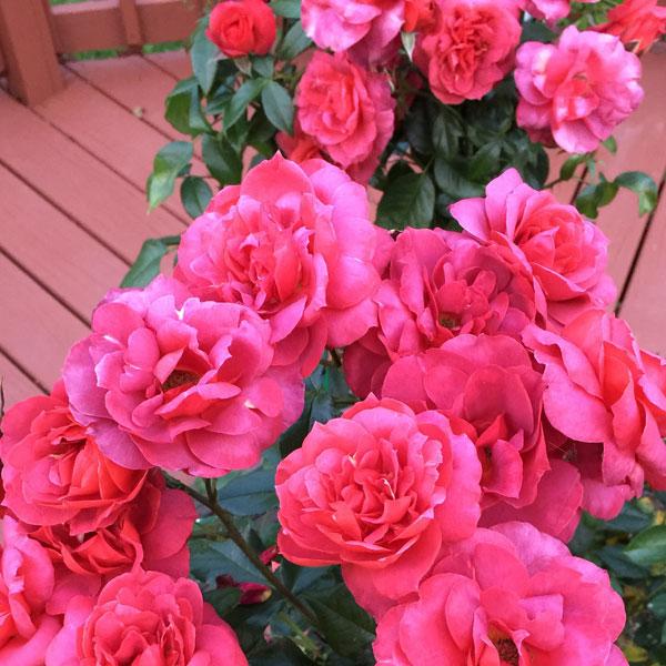 Weeks Roses 'Easy Does It' | The little floribunda work horse of the garden