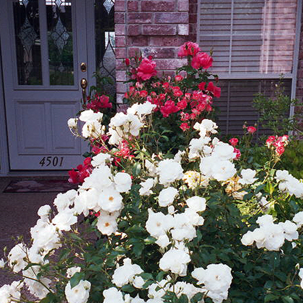 Texas Front Rose Walk of Roses 'Iceberg', 'Blastoff'