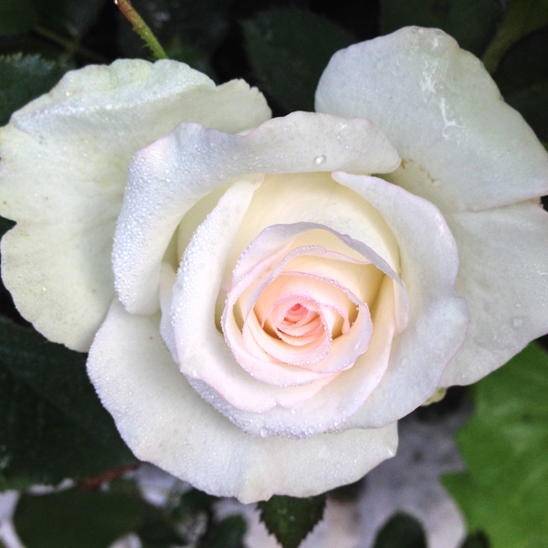 'Moonstone' blooming as a perfect heart in nature