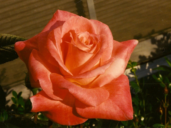 Bred by William A. Warriner (United States, 1990). Introduced in United States by Jackson & Perkins (Wholesale) in 1991 as 'Barbara Bush'. Hybrid Tea.
