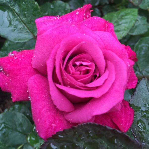 'Heirloom' The first bloom of the 2016 rose blooming season