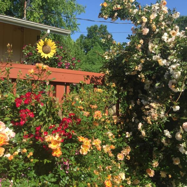 Rosey Raccoon's Rose Walkway