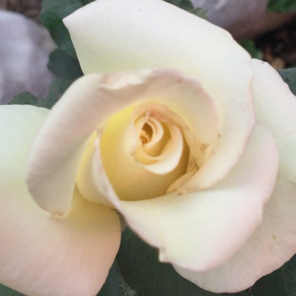 'John F. Kennedy' Planted Bare Root | First Bloom in Central Illinois