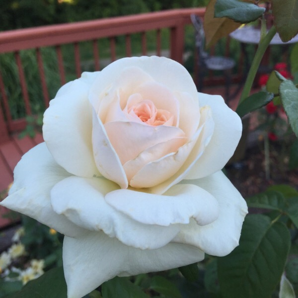 'Francis Meilland' the Best Hybrid Tea named at the Biltmore International Rose Trials 2015
