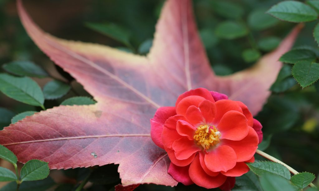 'Ten Tips For Winterizing Your Roses