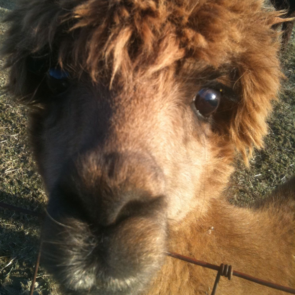 Alpaca   My New Neighbor In The Country