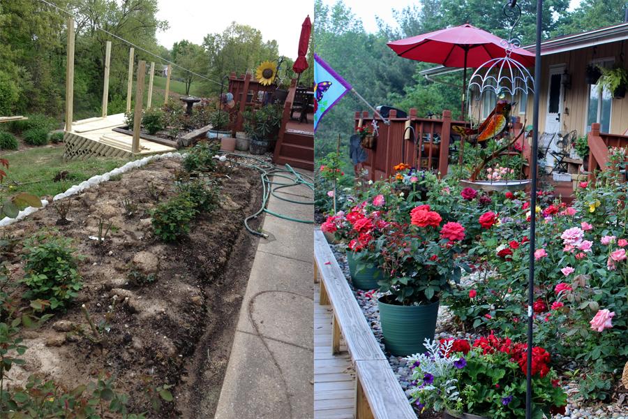 Hybrid Tea Rose Garden Before & After