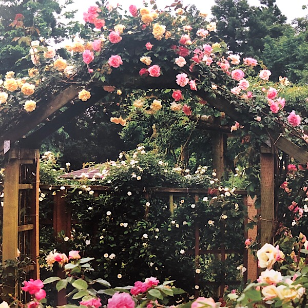 Features large pastel colored flowers flowers of Tea Roses. The roses covering the gate arch: Right: 'Triomphe de Guillot Fils', left: ' Cl, Devoniensis'