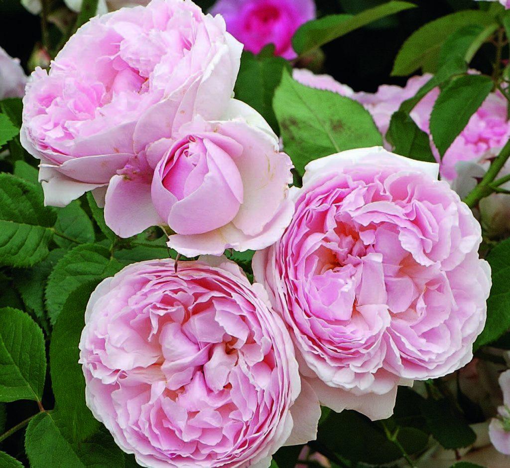 'Mary Rose'