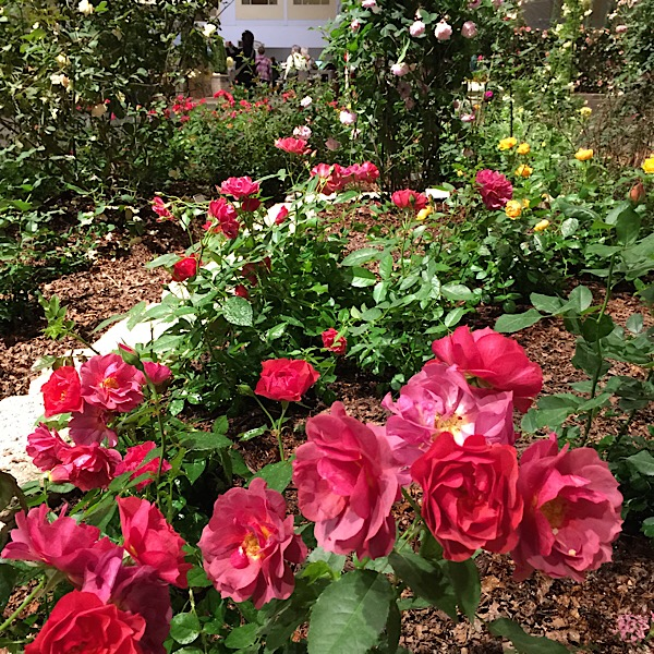 'Cinco de Mayo' | Easy~To~Love Roses by Weeks Roses Donated by Weeks Roses Forced Into Bloom for The Chicago Flower & Garden Show In March