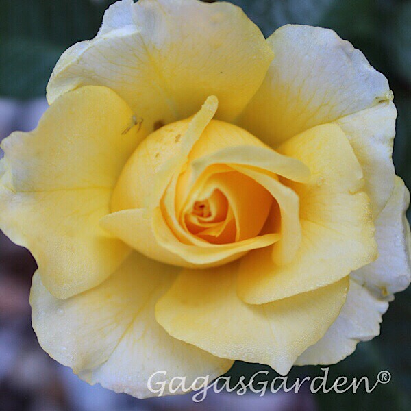 'Doris Day' Rose