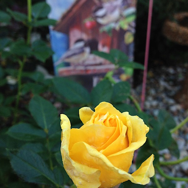 'Doris Day' Floribunda | Bud in Gaga's Garden