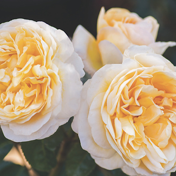 'Pauline Merrill Award' 'Moonlight Romantica' Hybrid Tea Rose bred by Meilland Roses 'Best Hybrid tea Rose'