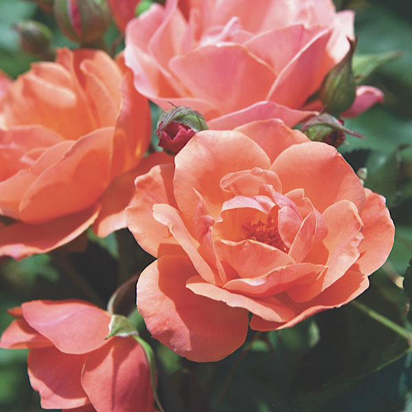 """George & Edith Vanderbilt Award & Chauncey Beadle Award for 'Best Shrub' & 'Most Outstanding Rose' """"The Coral Knock®Out Rose bred by Will Radler"""