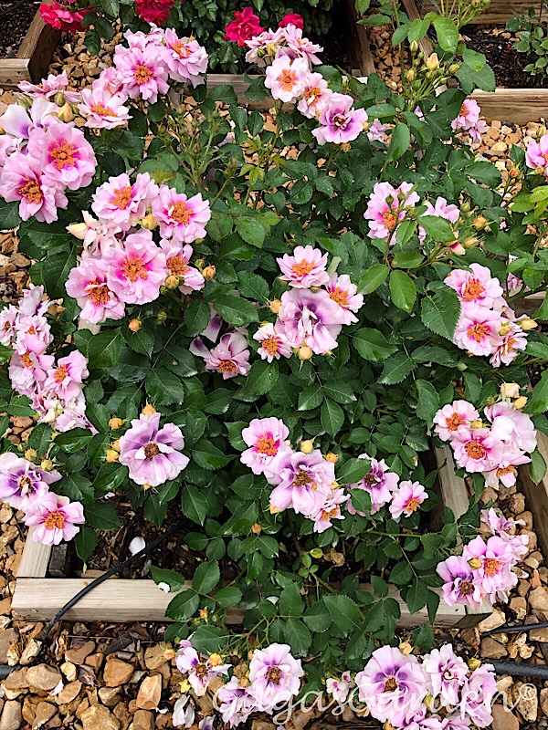 To Show A 'Easy On The Eyes' Shrub In Bloom